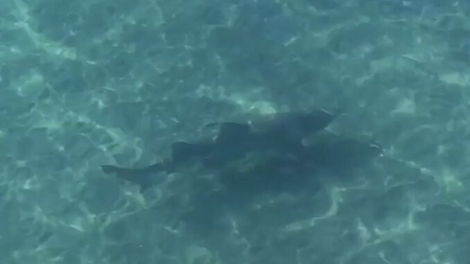 Video Shark Pays A Visit To Kitty Hawk Pier Obx Today