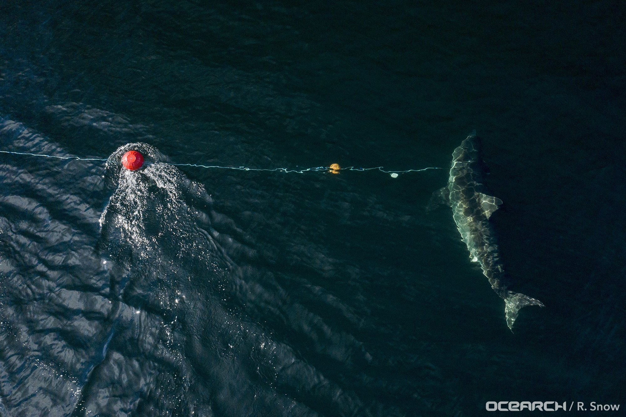 Second Largest Shark Ever Tagged In The Atlantic Pings Off Outer Banks Obx Today