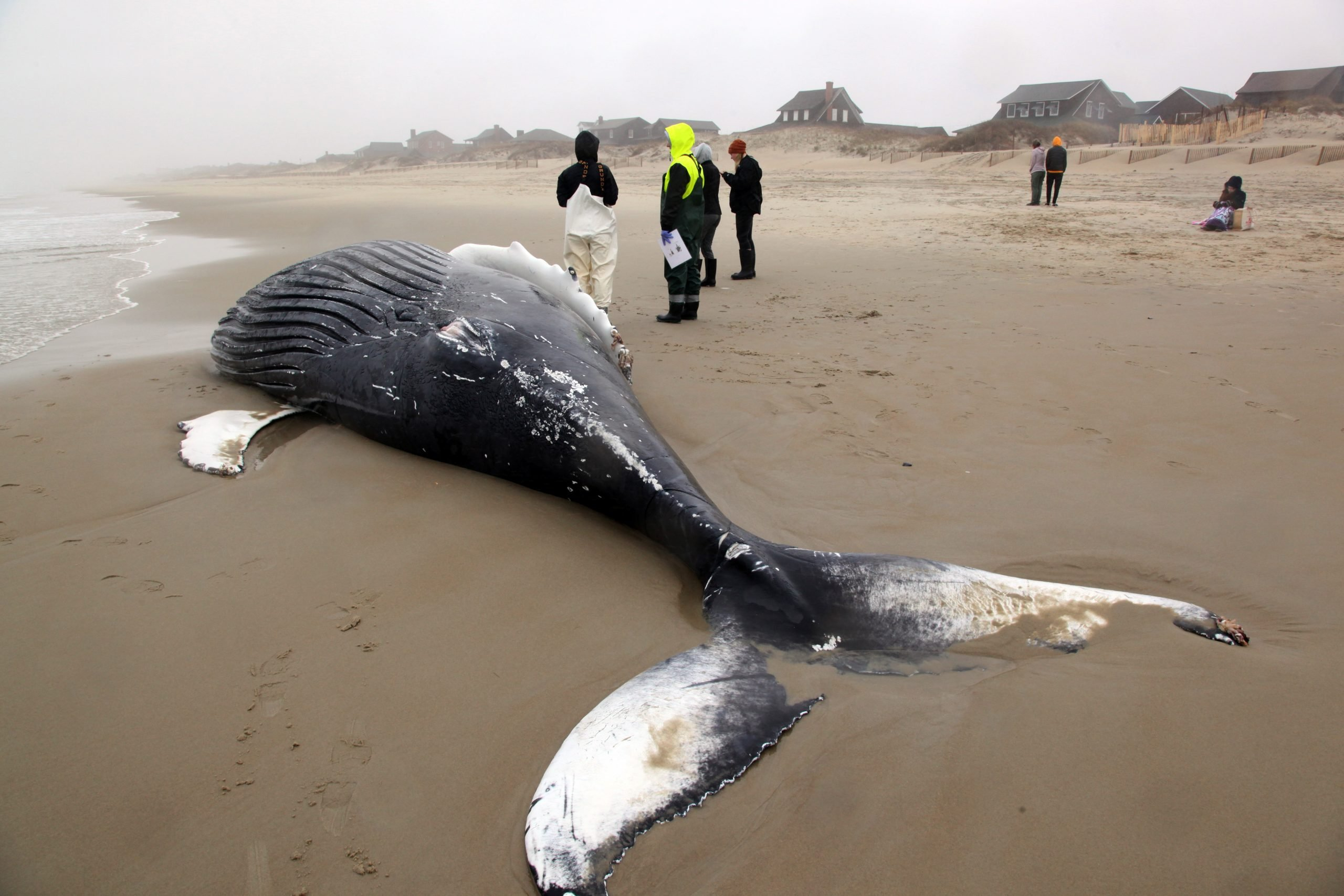 Humpback Whale Death In Nags Head Continues East Coast Unusual Mortality Event Obx Today